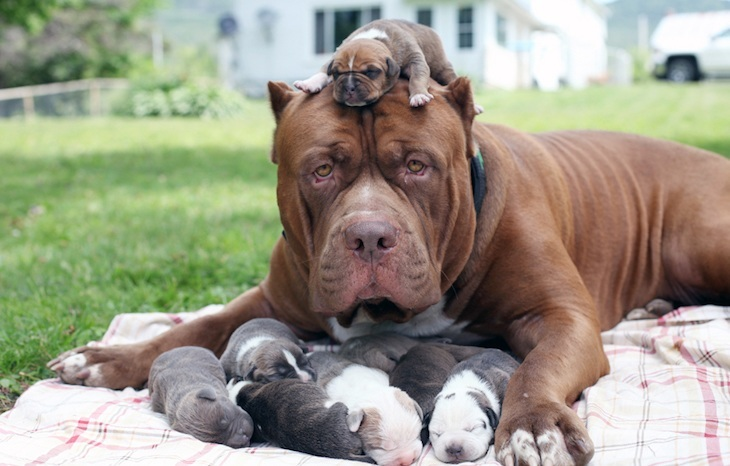 How Many Puppies Can A Pitbull Dog Have